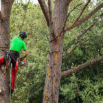 Pictue of an employee trimming a tree with safety equipment.